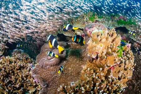 Underwater image of a family of cute banded Clownfish (Clarks Anemonefish) on a tropical coral reef in Thailand's Similan Islands Foto de archivo