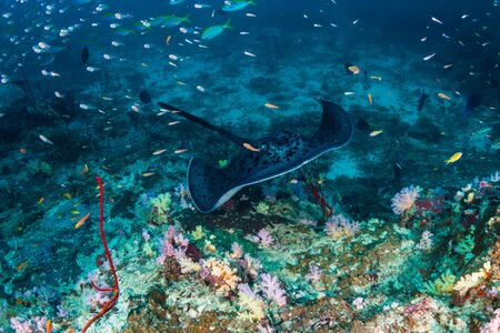 Underwater photo of a large Marble Ray (Blotched fantail stingray) on a colorful tropical coral reef