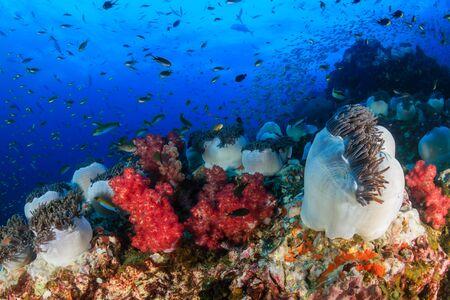 Hard and soft corals on a tropical reef (Richelieu Rock, Thailand) Foto de archivo