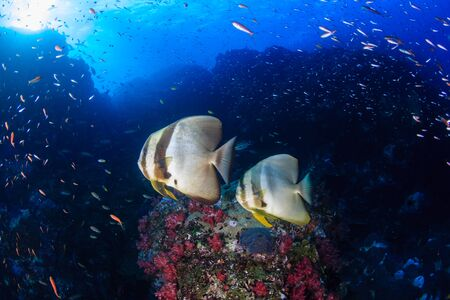 Longfin Batfish (Spadefish) and other tropical fish on a coral reef at Richelieu Rock, Thailand