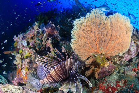 A colorful, beautiful Lionfish surrounded by corals and tropical fish on a healthy reef