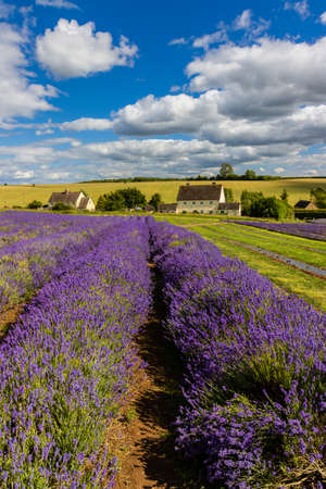 Beautiful purple colored Lavender flowers in rural farmland (Cotswolds, England)