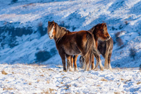 Wild mountain ponies in a cold, snowy, winter landscape (Wales, UK) Imagens