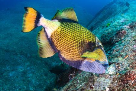 A large Titan Triggerfish feeding on a dark tropical coral reef