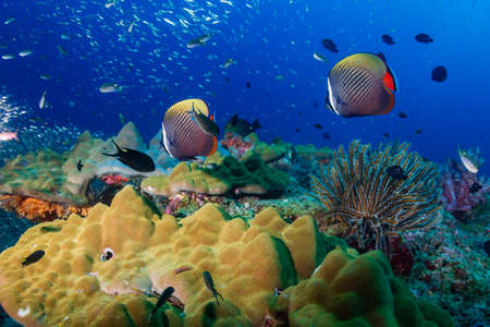 Colorful red-tail Butterflyfish on a tropical coral reef in the Andaman Sea.