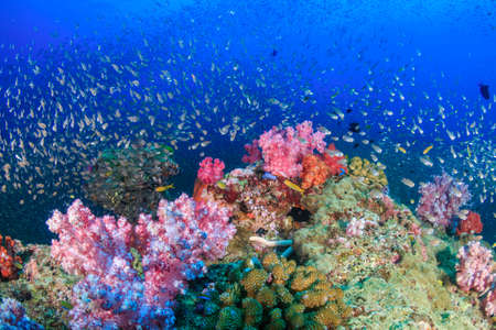Tropical fish around a bright, colorful tropical coral reef.