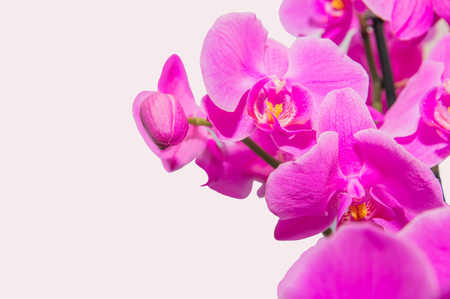 orchid branch with violet flowers isolated Stock fotó