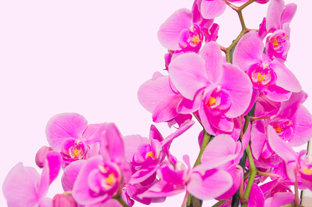 orchid branch with violet flowers isolated Reklamní fotografie
