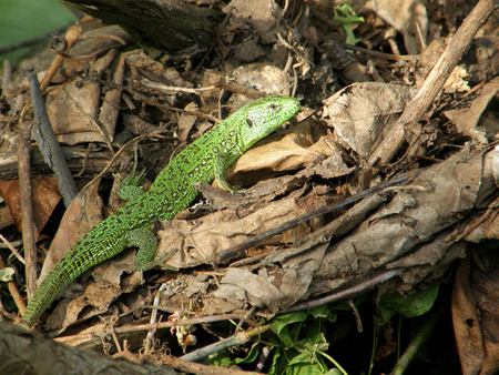 froze: green lizard froze among the foliage