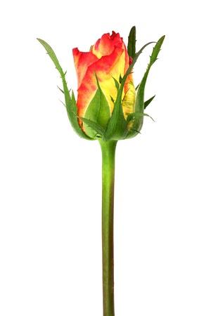 Single Rose photo