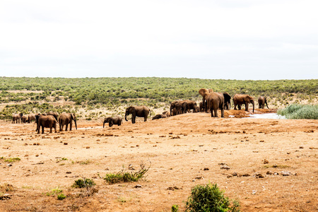 Herd Or Family Of Wild Elephants At A Water Hole in Eastern Cape South Africa In Their Natural Habitat Stock Photo