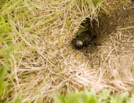 chitin: a cricket in the front of his hole