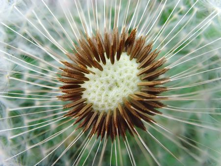 a close up of a head of a dandelion Stock Photo