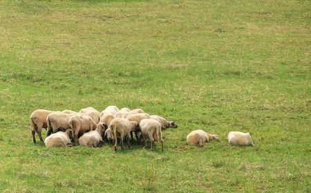 sheep resting photo