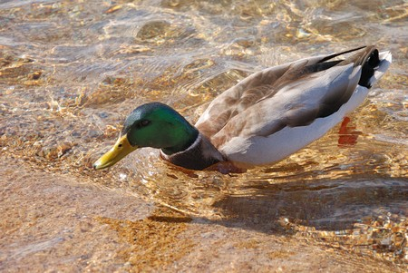 birdwatching: male of a wild duck in a water
