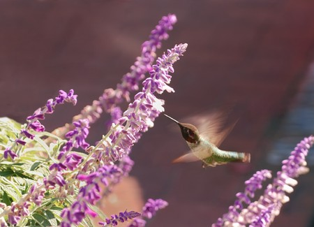 hummingbird hovers in the front of a flower Stock Photo