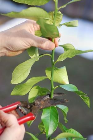 Pruning lemon tree in early spring
