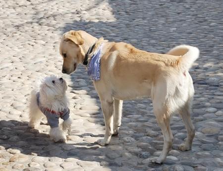Honden snuffelen elkaar op een eerste bijeenkomst Stockfoto