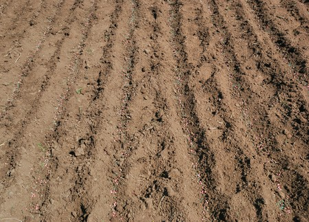 Pea seed and fertilizer on the ground.