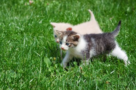 Two kittens with blue eyes walking through grass.