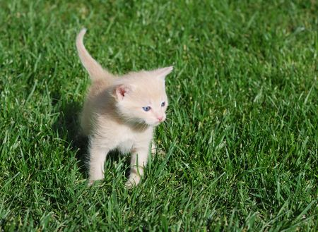 Yellow kitten with blue eyes walking through grass. photo