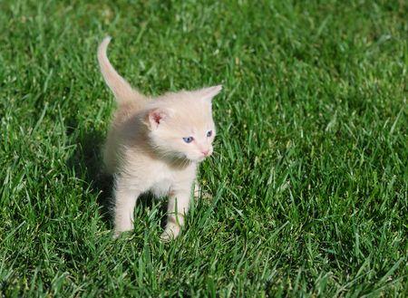 Yellow kitten with blue eyes walking through grass. photo