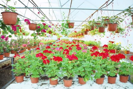 Nylon covered greenhouse with geraniums and other plants.