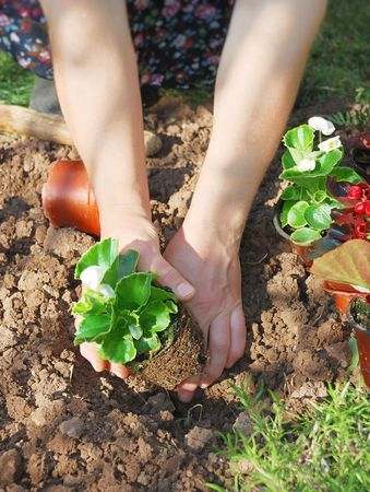 Woman planting wax begonia in the garden. Stock Photo