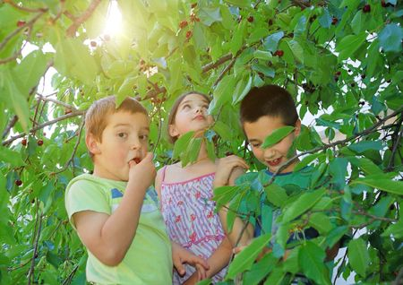Children on ladders eating bing cherries in the shade of the tree with summer sun in background.