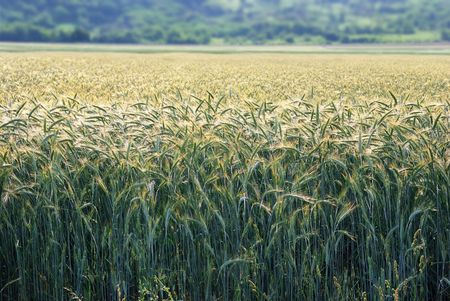 Field of barley with morning sun backlit.  Stock Photo