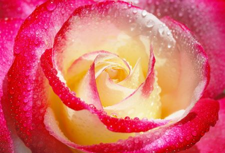 Close-up of a yellow and red rose with droplets.