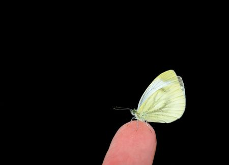 fingertip: Small Cabbage White on a fingertip isolated over black background. Stock Photo