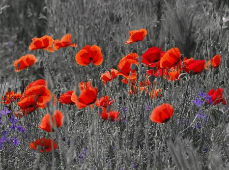 Black and white image of a meadow with red field poppies.