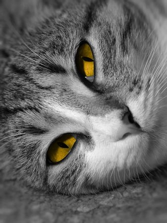 Black and white portrait of a cat with orange eyes. photo