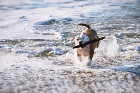 Dog fetching while running from the ocean. photo
