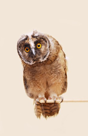 Young long-eared owl isolated over seamless background.