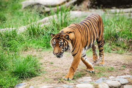 bengal tiger: Bengal tiger walking and looking down in front. Stock Photo