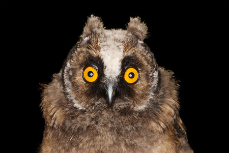 portrait studio: Young long eared owl with surprised look on her face isolated on black background. Stock Photo