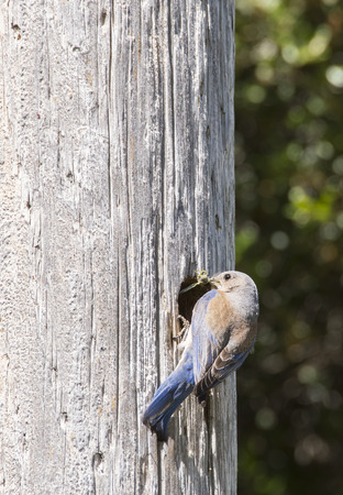 mexicana: Female Weatern Bluebird getting into the nest to feed her babies with a cricket in her beak.