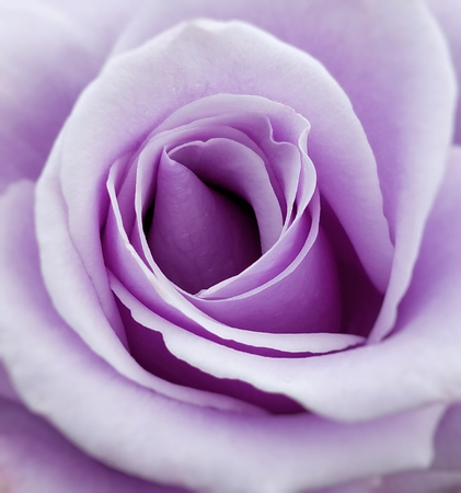 Close up of a purple rose flower.