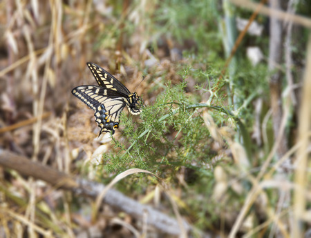 reproducing: Anise Swallowtail (Papilio zelicaon) female laying eggs on a fennel. Stock Photo