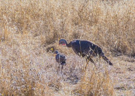 turkey hen: Wild Turkey hen with one chick in the dry grass field looking for food.