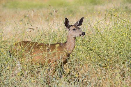 black tail deer: A doe of a Black tail Deer standing in the dry grass field.
