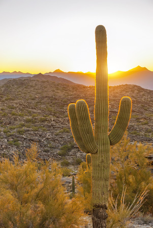 desert ecosystem: Saguaro, the most common giant cactus in Arizona, USA, in the sunset. Stock Photo