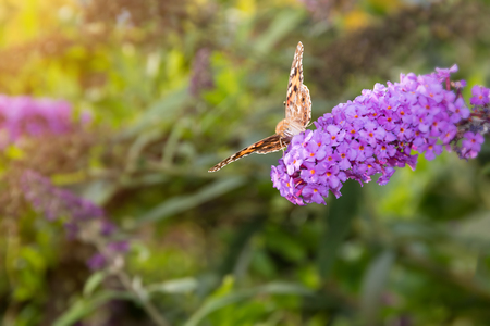 nymphalidae: Painted Lady butterfly, Vanessa cardui, feeding on nectar from buddleia flower lit by afternoon sun.