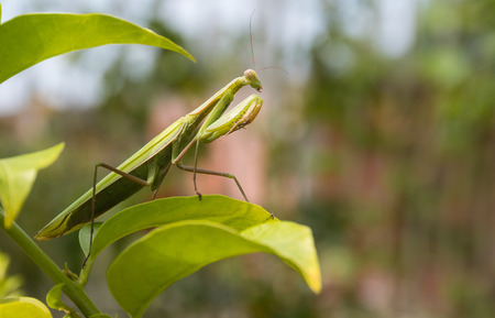 european mantis: Green Praying Mantis, Mantis religiosa, sitting on a leaf in its typical pose, waiting for insects to catch them. Outisde of Europe this species is also called European Mantis.