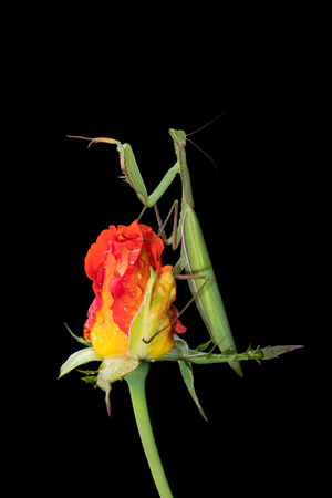 european mantis: Green Praying Mantis, Mantis religiosa, sitting on a rosebud isolated on black in its typical pose, waiting for insects to catch them. Outside of Europe this species is also called European Mantis. Stock Photo