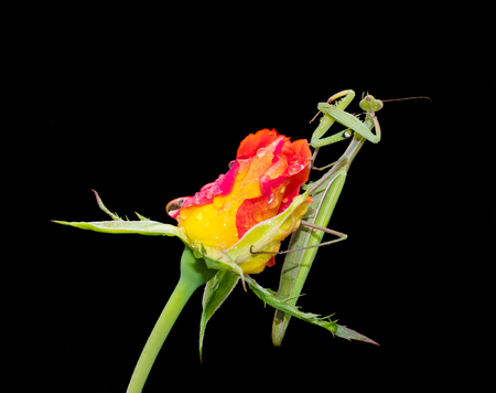 european mantis: Green Praying Mantis, Mantis religiosa, sitting on a rosebud isolated on black, cleaning its legs from water droplets. Outside of Europe this species is also called European Mantis.