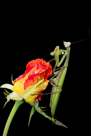 Green Praying Mantis, Mantis religiosa, sitting on a rosebud isolated on black. Outside of Europe this species is also called European Mantis.