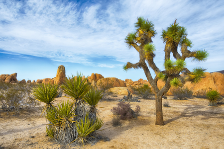 Joshua Tree, Yucca brevifolia, native for arid southwestern United States, mostly lives in Mojave Desert. The picture is taken in Joshua Tree National Park.
